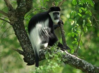 A Colobus monkey perches on the speckled branch of a tree and has his long white hairs blown in the wind in Kibale Forest National Park, Uganda