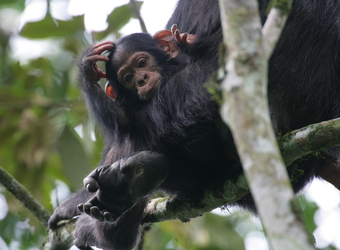A baby chimp appears complexed as we rubs his head in his mother's arms in Kibale Forest National Park, Uganda