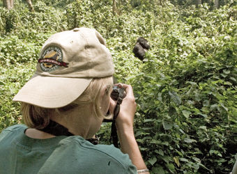 Safari guest captures a secret moment of a large male gorilla completely surrounded by forrest and vegetation in Kampala, Uganda