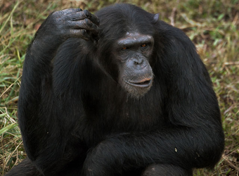 A chimp absentmindedly scratches his head with an open mouth and a look of consternation in Entebbe, Uganda