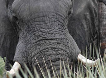 Close up of a worn old elephant face with bright white tusks in Murchison Falls National Park, Uganda