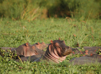 A content hippopotamus half submerged among the water plants closes its eyes into the blaring son surrounded by a few other hippopotumas, Uganda