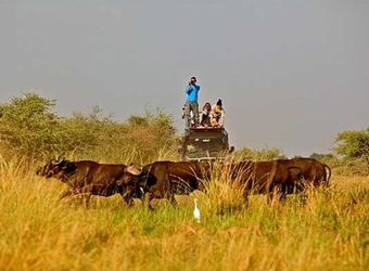 Safari guests stand on top of a vehicle to get the best photo of African water buffalos strolling through the grass in Murchison Falls National Park
