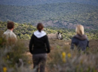 Lucky safari guests in vehicle are treated to close up of a group of several African rhino surrounded by graases in the eastern cape, South Africa
