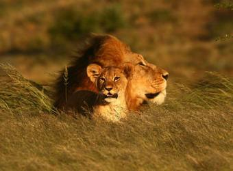 Thick maned male lion sits behind his adorable lion cub in tall grasses on the savanna in the eastern cape, South Africa