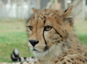 Disgruntled cheetah with small black whiskers looks of to the right clearly upset about something in cape winelands, South Africa