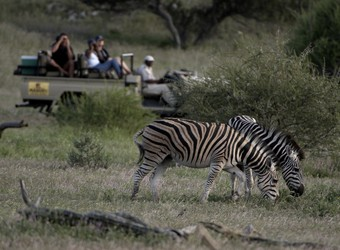 A pair of deeply marked zebras enjoy a bite to eat as several safari guests look on from a safari rover in Mashatu Game Reserve, South Africa