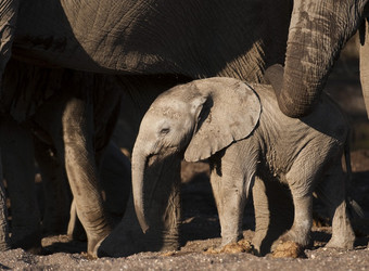 A very small baby elephant is dwarfed by her protecting family members as her mother strokes her with her trunk in Mashatu Game Reserve, South Africa