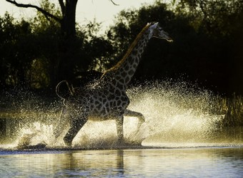 Duma Tau Camp, marvelous shot of giraffe running through the water, sparkling splash of river, emaculate lighting, Okavango Delta, Botswana, Africa