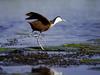 Jacana Camp, Jesus Bird hopping across lilypads in search for food, beautifully colored African bird, Okavango Delta, Africa, Botswana safari