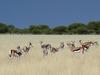 Khalahari Plains Camp, majestic gemsbok strutting through short scrubland, visitors in safari vehichle watching from close distance, ridiculous horns