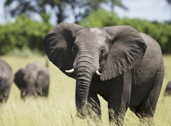 Seba Camp, healthy looking African elephant stares directly at the camera with his adorable small white tusks as other elephants move about the grass