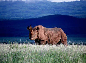 Lewa Wilderness Lodge, a massive black rhino stares into the camera against a majestic blue backdrop as he grazes on the savanna, African safaris