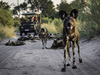 Abu camp, African wild dog pack, curious hyena, safari rover on a quiet sandy remote road at sunset, Botswana shrubbery, tourists in car, Africa