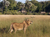 Kwetsani Camp, male lion with small mane, lion walking through dark green grasses in Africa, Botswana, Okavango Delta