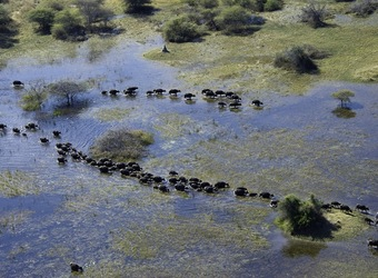 Vumbura Plains Camp, an overhead view of a quite large group of hippopotamus meandering through the Okavango Delta in search of food, Botswana