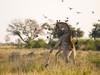 Zarafa Camp, extremely large bull elephant stares into the camera on a safari road mere feet away from the safari vehicle in Botswana, Africa safari