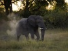 Savuti, a juvenile elephant kicks up dust as it walks through the African savanna as the dawn light creeps behind the wall of trees, Botswana safari