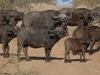 Chobe Under Canvas, group of African buffalo, African buffalo baby, interesting curved horns, dark black fur, Africa, Botswana safari