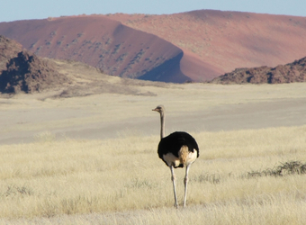 A lone ostrich walks along the endless white grasslands with red sand dunes in the distance in  Sossusvlei, Namibia