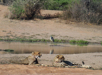 A pair of cheetah relax by a watering hole where a bird is being reflected in Okonjima Reserve, Namibia