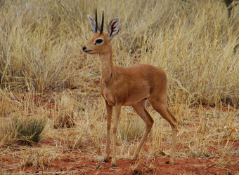 A baby steenbok with small sharp pointy horns stands amidst the grasses and red dirt in Okonjima Reserve, Namibia