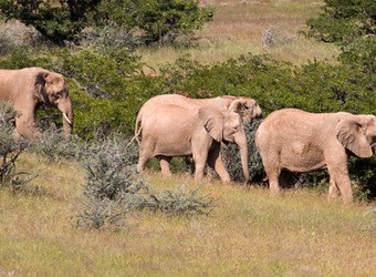 A herd of white colored elephants walk downhill through the grasses and bushes of Africa in Damaraland, Namibia