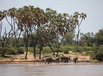 A small herd of elephant refresh by the watering hole with palm trees against the blue sky in Samburu National Reserve, Kenya