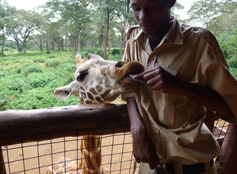 A giraffe is fed above a fence by a sanctuary attendant in Nairobi, Kenya