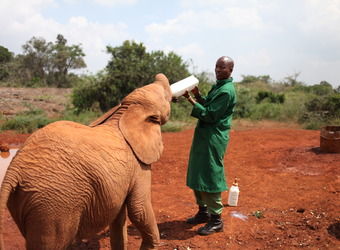 A young baby elephant is bottle fed by her attendent in Nairobi, Kenya, red dirt