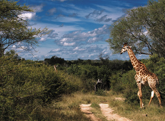 Giraffe beautifully silouetted against the blue sky and white clouds and African flora in Kruger National Park, South Africa