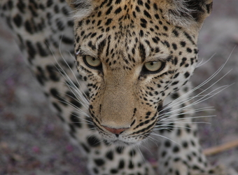 Close up of a beautiful feminine leopard as she surveys her surroundings and prepares to move in Sabi Sand Reserve, South Africa