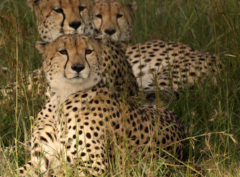 Several cheetah relax in the high grasses looking slightly perplexed in Zululand, South Africa