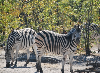 Fat zebras in search of their next grassy meal inbetween small green trees in Zululand, South Africa