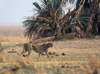 A lanky cheetah walks along the grasslands and tropical plants looking for her next meal in Katavi National Park, Tanzania