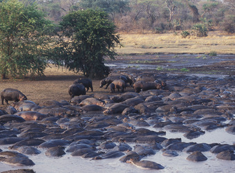 Hundreds of hippopotamus pour into the Katuma River making it a sea of animals in Katavi National Park, Tanzania