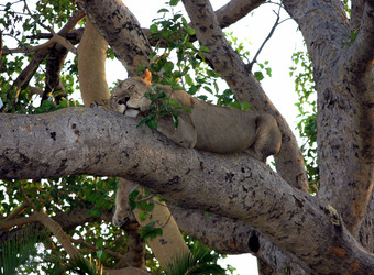A famous tree-climbing lion taking a rest on a bough of a large tree in Lake Manyara Park, Tanzania