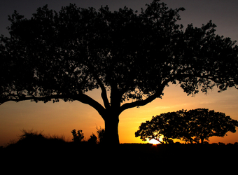 A couple of African trees are silhouetted by the setting son and the orange filled sky in Arusha, Tanzania