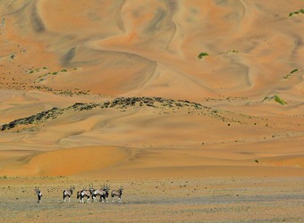 A group of gemsbok look for their next grazing location at the base of a massive stretch of sand dunes in Hartmann Valley, Namibia