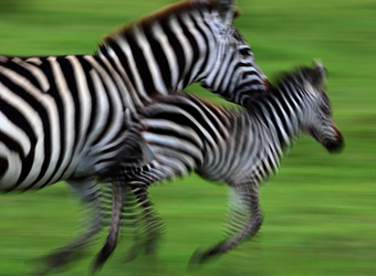 Two zebras are a blur as they race through the grasslands in Lake Manyara National Park, Tanzania