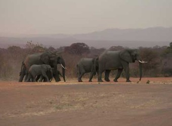 Herd of African elephants trundles across the countryside with a baby elephant in Ruaha National Park, Tanzania