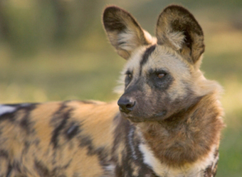 An African wild dog or hyena gazes intently into the distance with its ears perked upwards for the slightest sound in Ruaha National Park, Tanzania