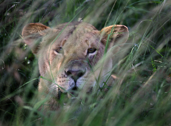 Safari guests motor along in a motorboat along the Rufiji River in search of animal sightings in the Selous Game Reserve, Tanzania	130	A lion peers through the sheltering glass blades with mouth open smelling for danger in Selous Game Reserve, Tanzania