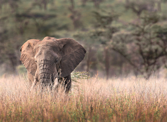 A model and picturesque elephant with white ivory tusks meanders through the high grasslands in Tarangire National Park, Tanzania