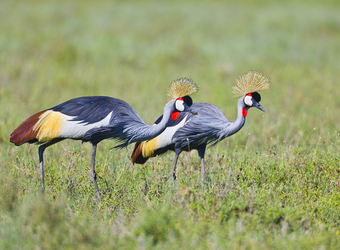 A pair of East African crowned cranes hunt for food in all of their splendor in Tarangire National Park, Tanzania