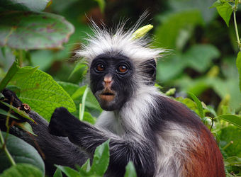 Jozani Forest shelters endemic and endangered species such as this Zanzibar red colobus monkey chowing down on some leaves in Tanzania