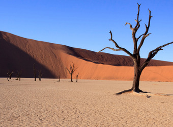 Gorgeous reddish orange sand dune juxtaposed with the bright blue sky behind it and a gnarled dead tree in Sossuglei, Namibia