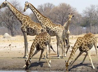 Giraffes spread their legs wide as they dip down for a drink from an African watering hole in Hwange National Park, Zimbabwe