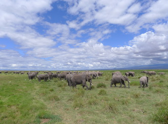 A bountiful herd of elephants grazing in the grasslands with a gorgeous blue sky above in Amboseli, Kenya