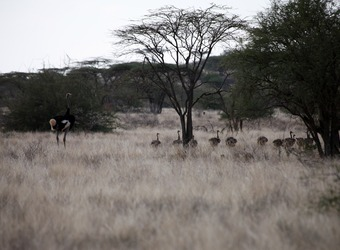 A group of ostriches rest in the African bush and grasslands in Shaba National Reserve, Kenya